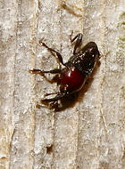 Image of <i>Madarellus undulatus</i>
