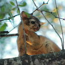 Image of Ringtail