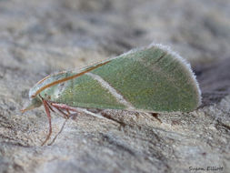 Image of <i>Anemosella obliquata</i>