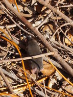 Image of Monterey ornate shrew
