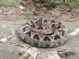 Image of Malayan Pit Viper