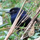 Image of Ceylon Whistling-Thrush