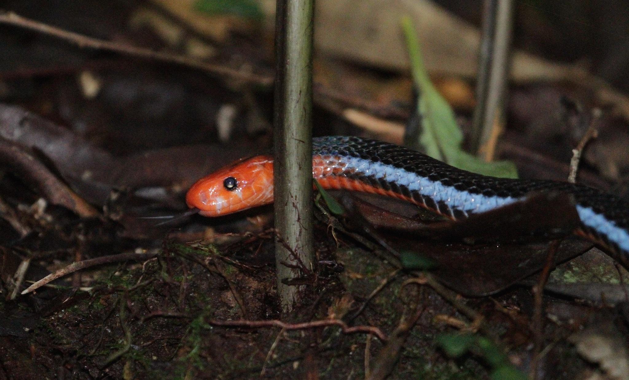 Image of Blue Coral Snake