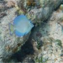 Image of Blue Barber