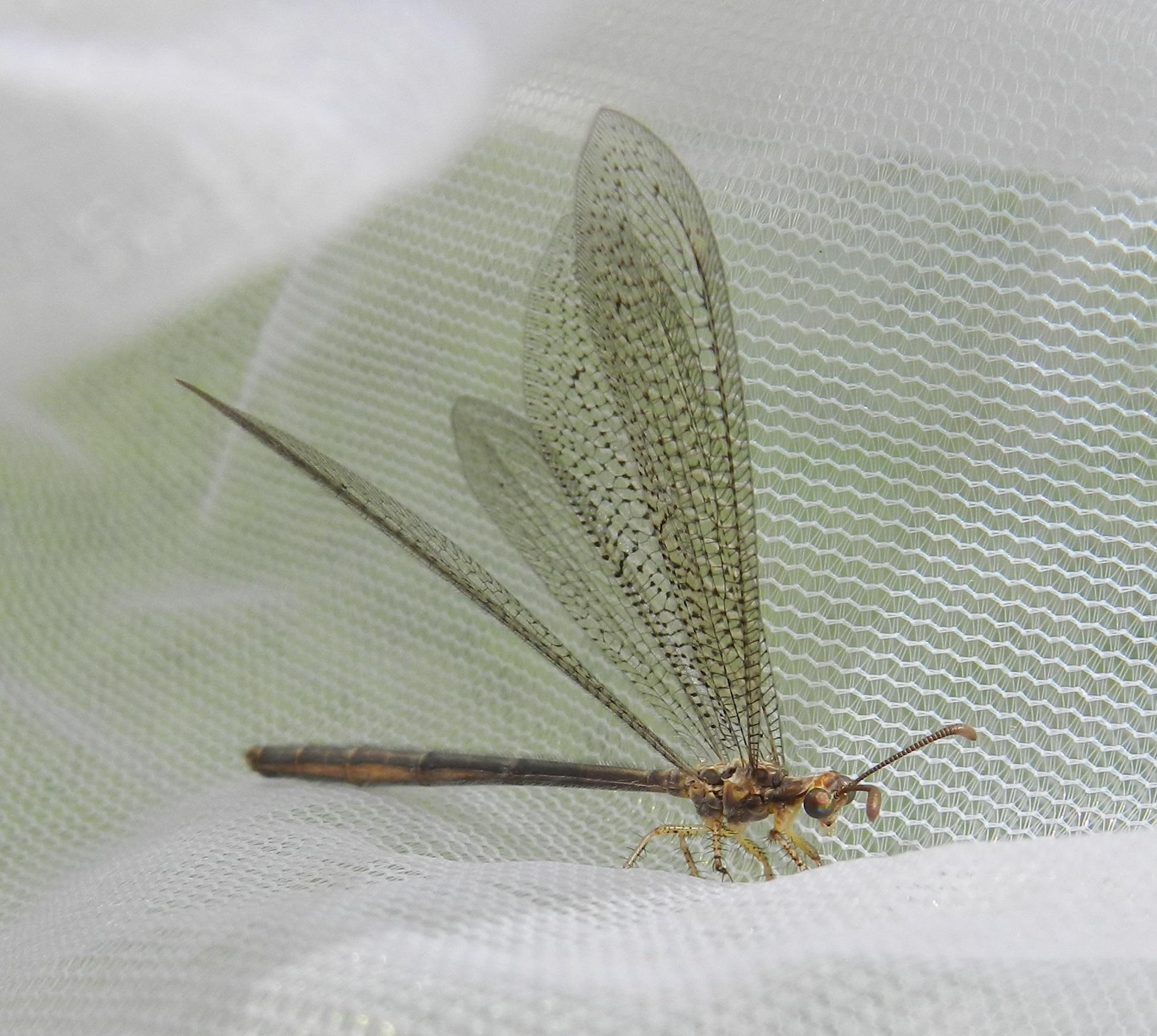 Image of <i>Brachynemurus abdominalis</i> (Say 1823)