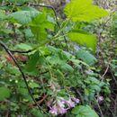 Image of <i>Ribes sanguineum</i>