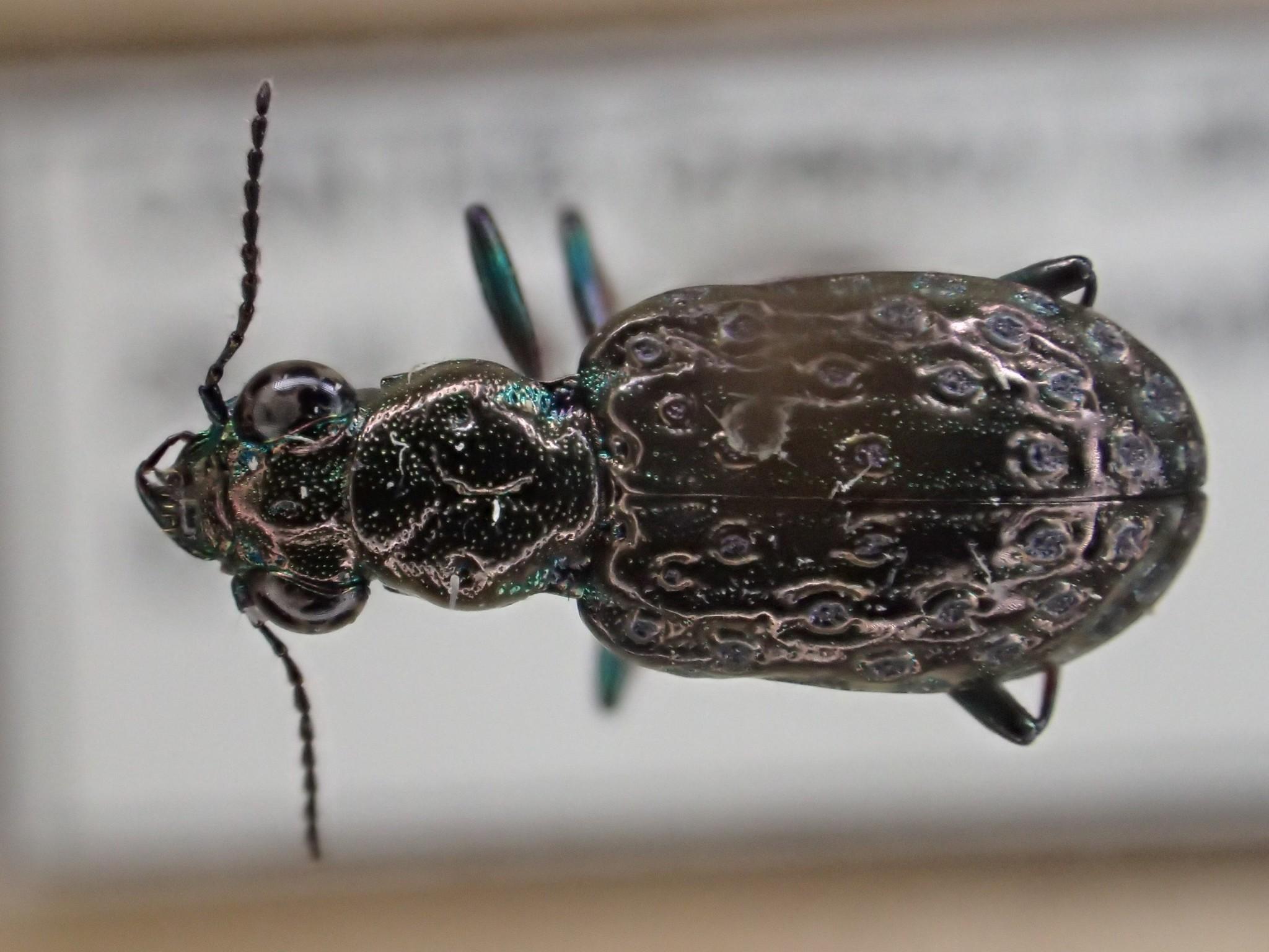 Image of <i>Elaphrus</i> (<i>Neoelaphrus</i>) <i>clairvillei</i> Kirby 1837