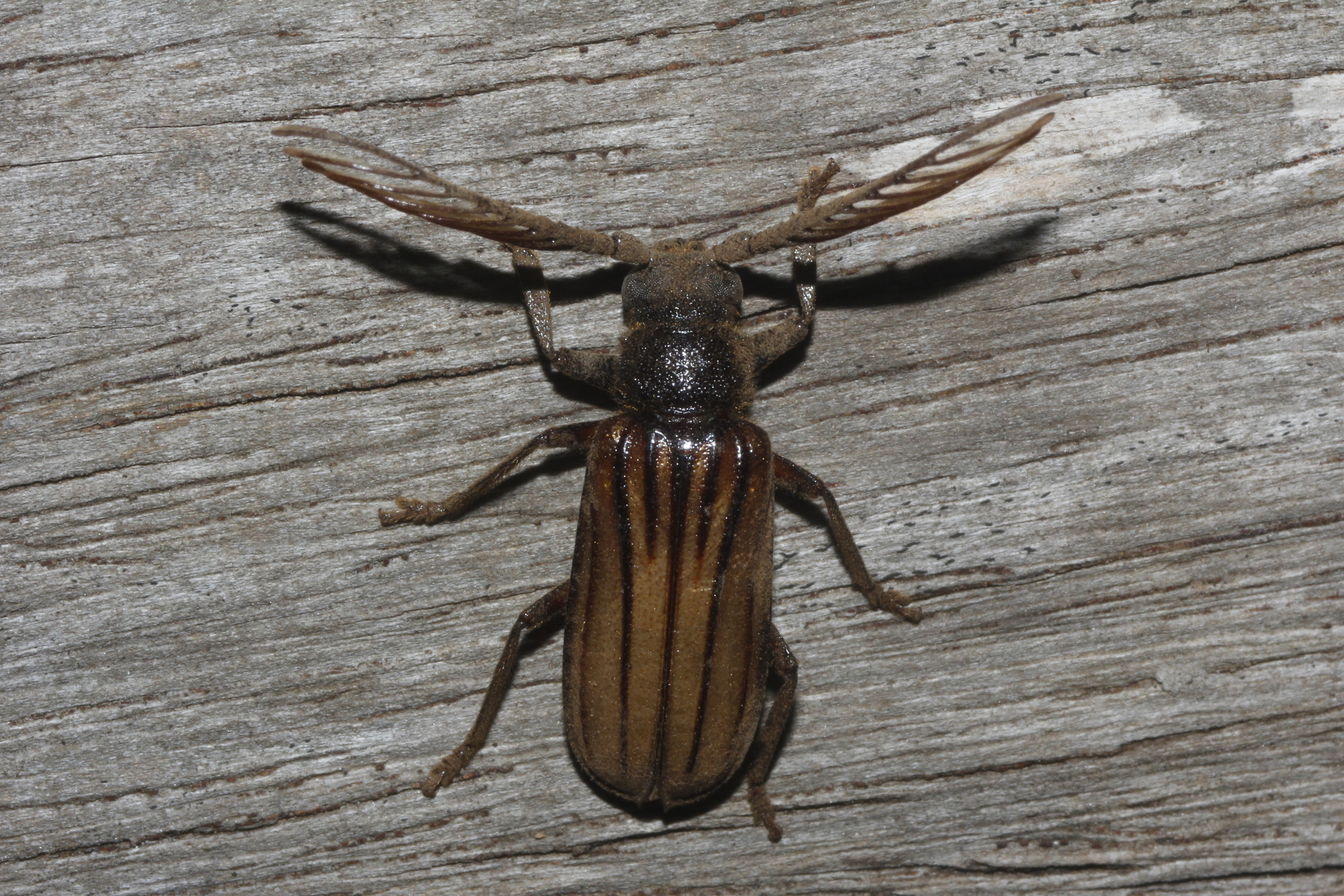 Image of <i>Lasiogaster costipennis</i> Gahan 1892
