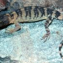 Image of knob-scaled lizards
