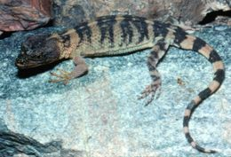 Image of Knob-scaled lizard