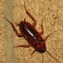 Image of american cockroach, ship cockroach