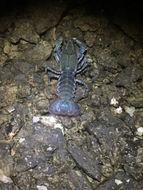 Image of devil crawfish