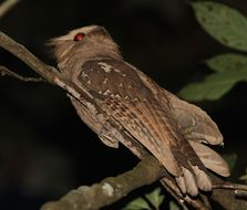 Image of Large Frogmouth