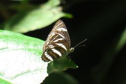 Image of <i>Phaedyma columella</i> Cramer 1782