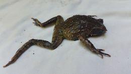 Image of Mindanao Horned Frog