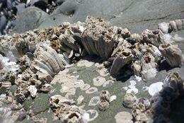 Image of Crenate barnacle