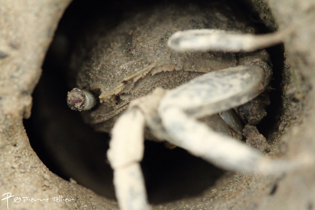 Image of Tunnelling mud crab