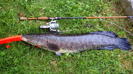 Image of Northern snakehead