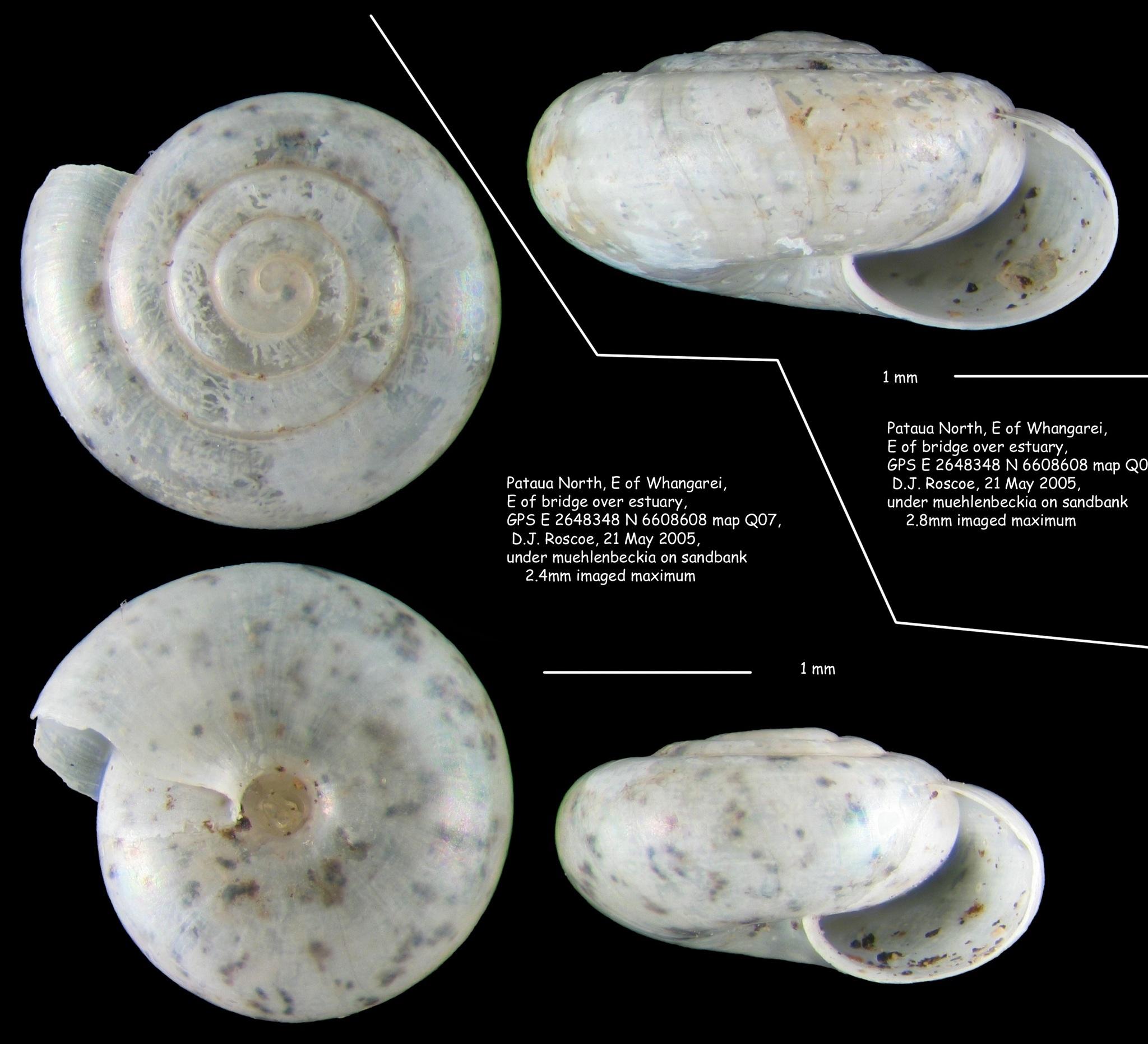 Image of <i>Hebetodiscus singleyanus</i>