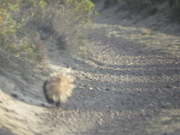 Image of Humboldt's Hog-nosed Skunk