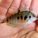 Image of <i>Amatitlania siquia</i> Schmitter-Soto 2007