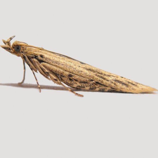 Image of <i>Batrachedra enormis</i>