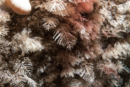 Image of fern hydroid