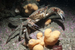 Image of Velvet swimming crab
