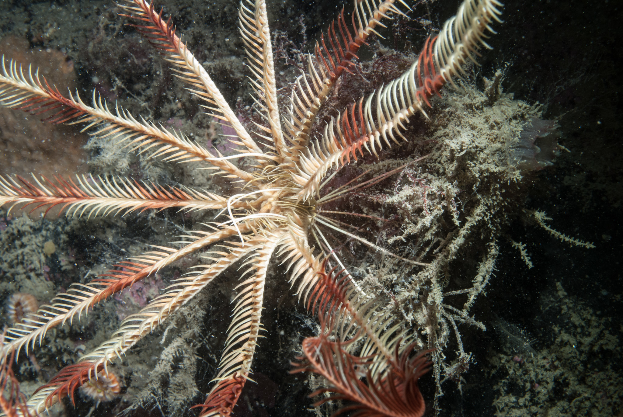 Image of Celtic Feather Star