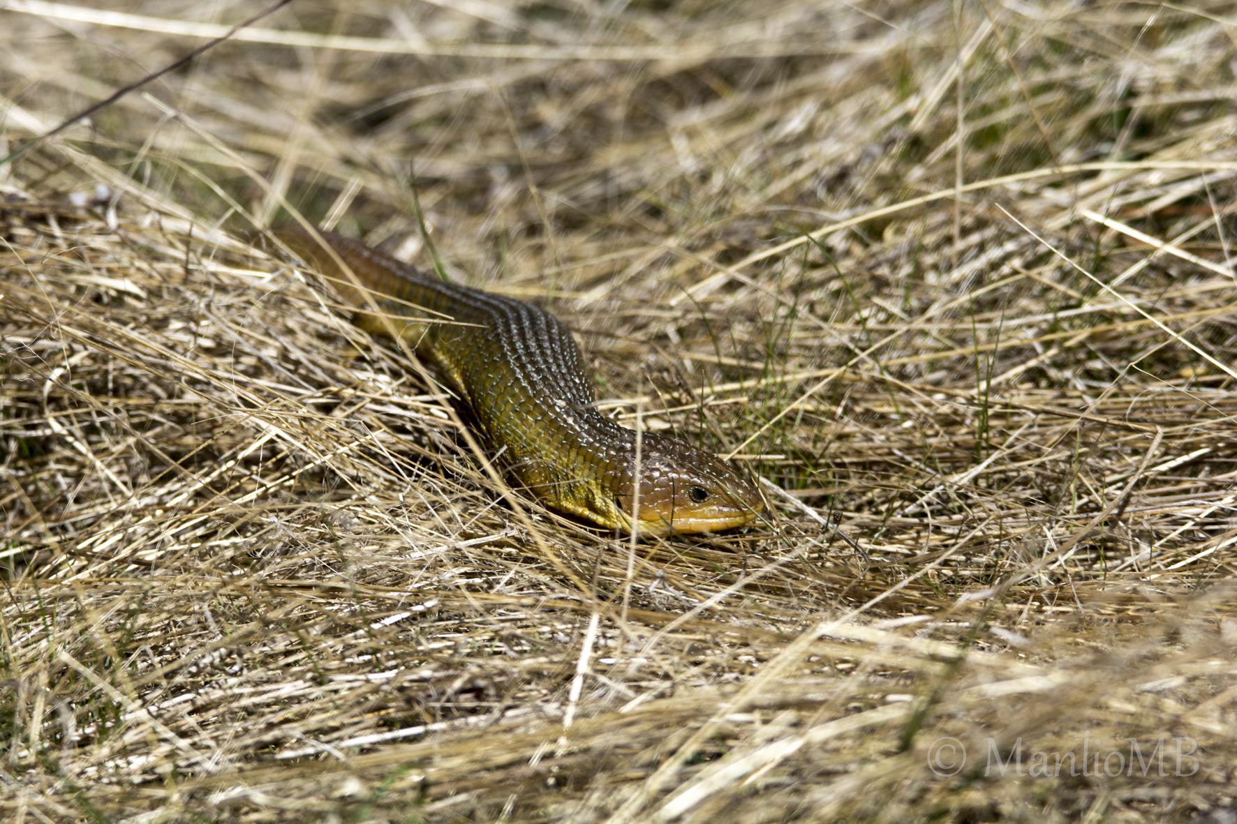 Image of Imbricate Alligator Lizard