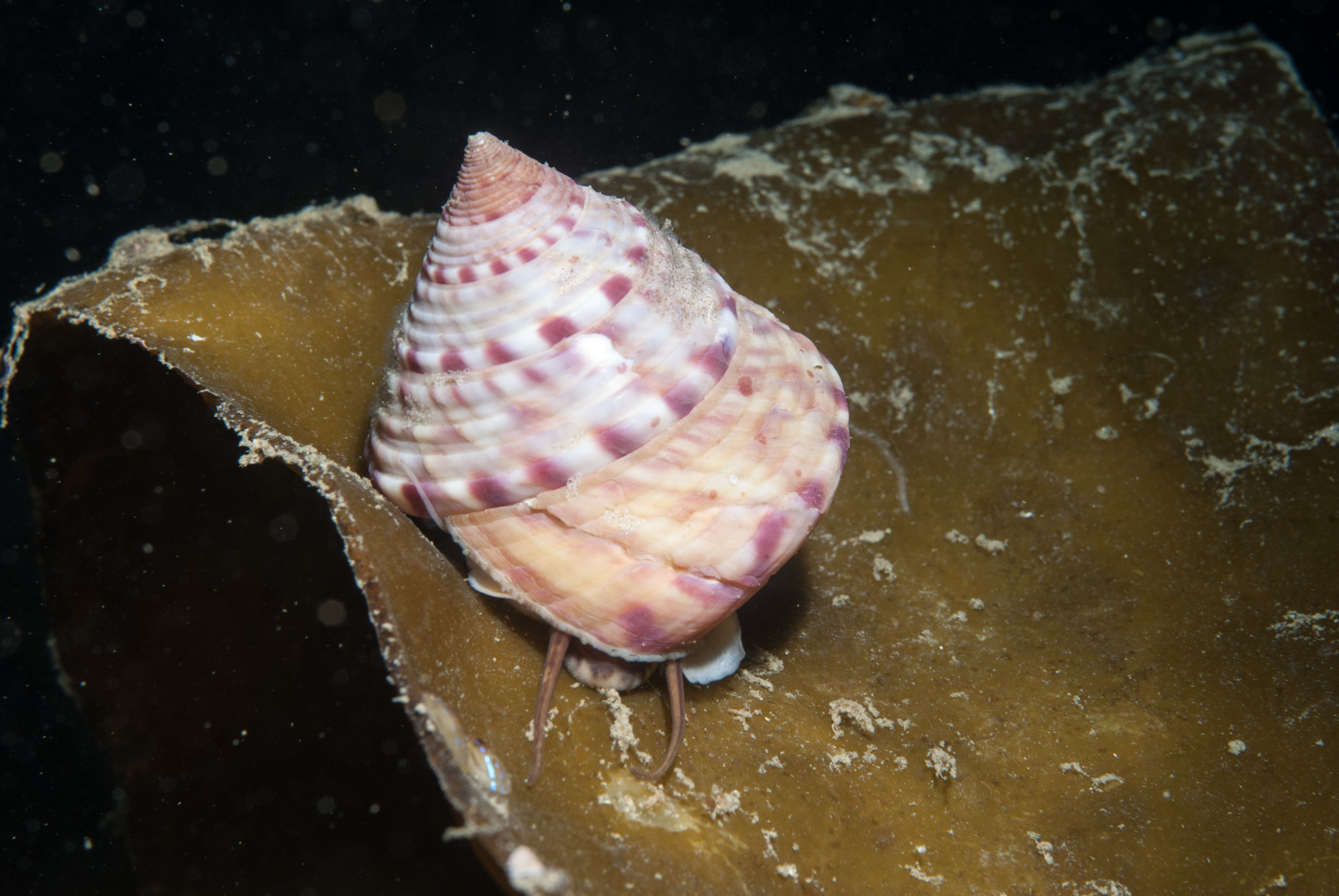 Image of European painted top shell