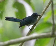 Image of Blue Fantail