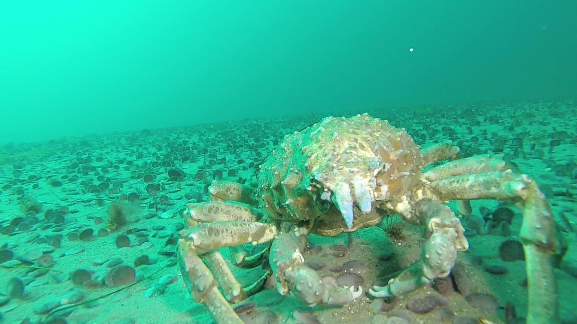 Image of Sheep crab