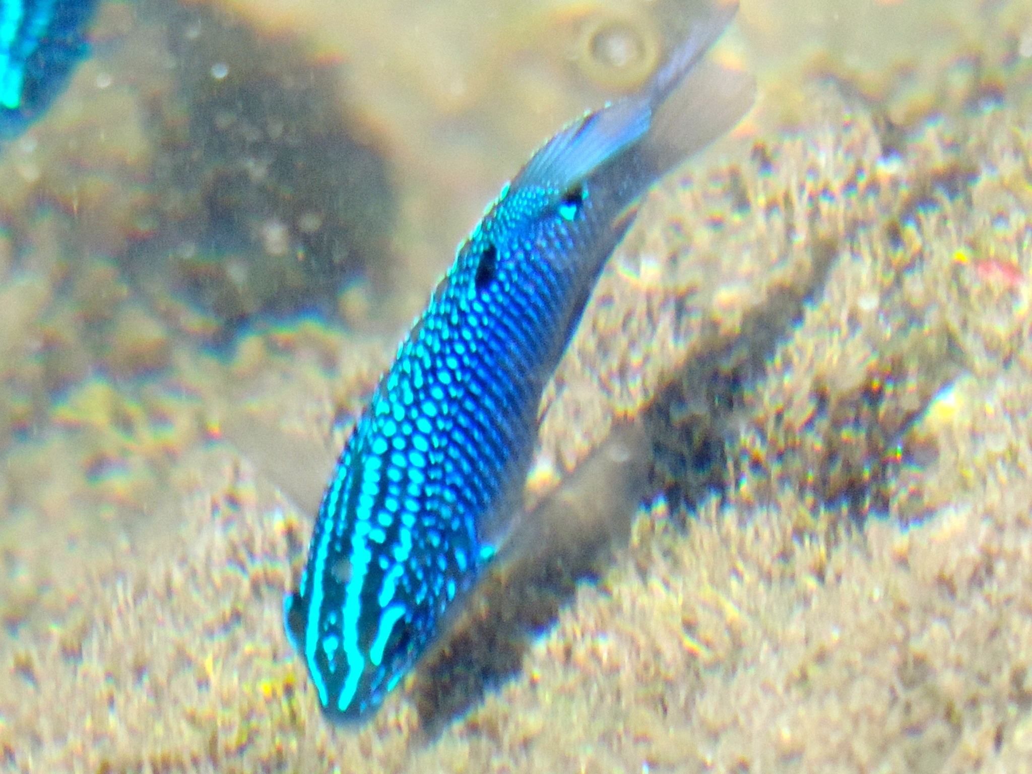 Image of Cortez damselfish