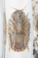 Image of <i>Sphaeroma quoianum</i> H. Milne Edwards 1840