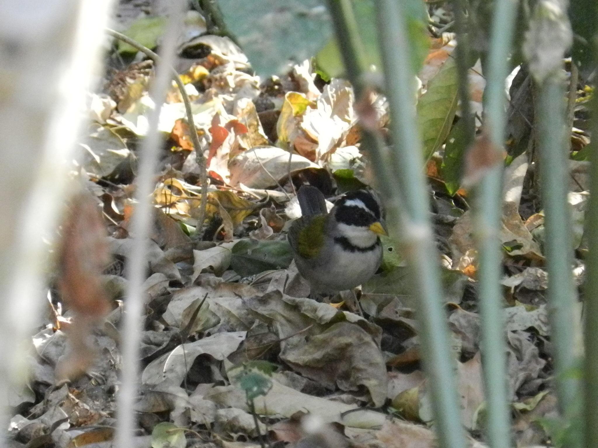 Image of Saffron-billed Sparrow