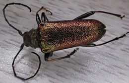 Image of <i>Anthophylax viridis</i> Le Conte 1850