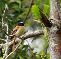 Image of Black-and-cinnamon Fantail