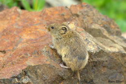 Image of Collared pika