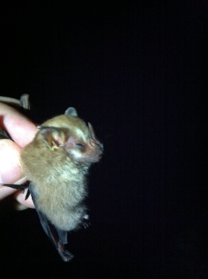 Image of Northern Little Yellow-eared Bat