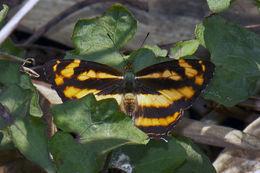 Image of <i>Symbrenthia lilaea</i> Hewitson 1864