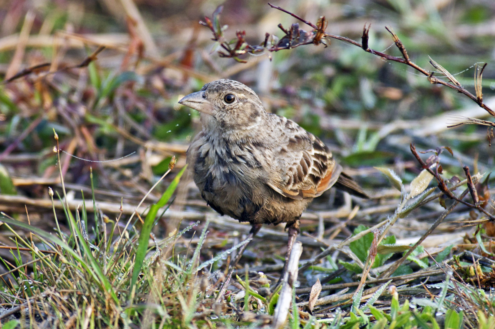 Image of Bengal Bushlark