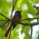 Image of Blue-headed Fantail