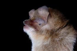 Image of <i>Natalus lanatus</i> Tejedor 2005