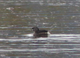 Image of Pied-billed grebe