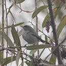 Image of Blue-gray Gnatcatcher