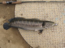Image of Blotched snakehead