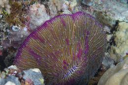 Image of Common Mushroom Coral