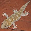Image of African Wall Gecko