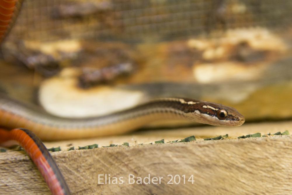 Image of Adorned Graceful Brown Snake